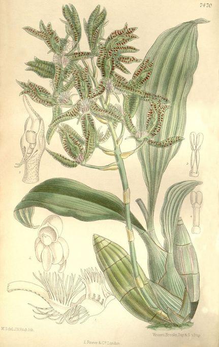 Catasetum_randii
